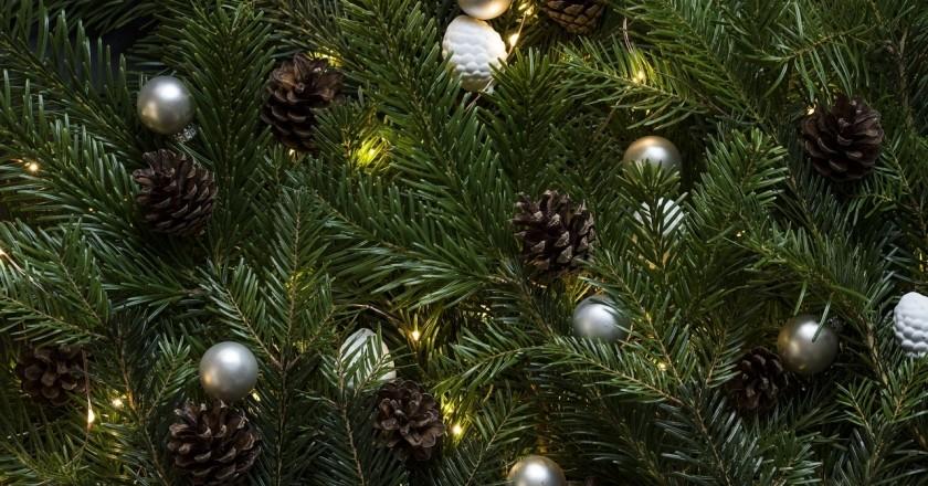 Sample of Christmas trees in Sant Miquel de Fluvià
