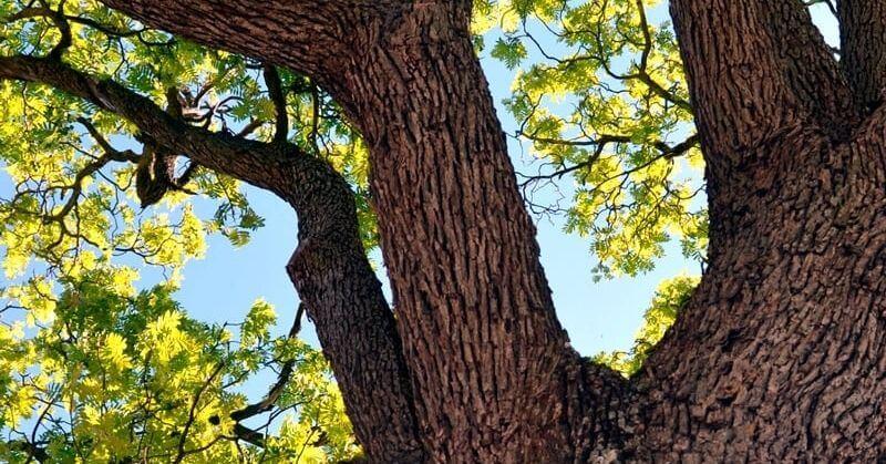 Arraigados: árboles singulares y monumentales