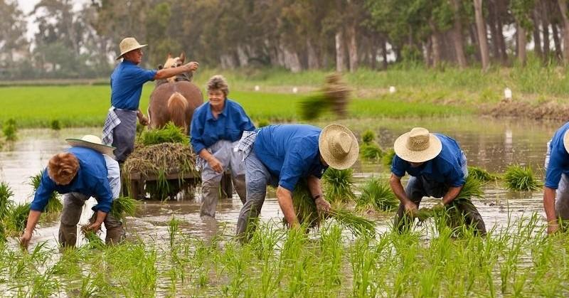 Fiestas de la Sega del arroz en las Terres del Ebre