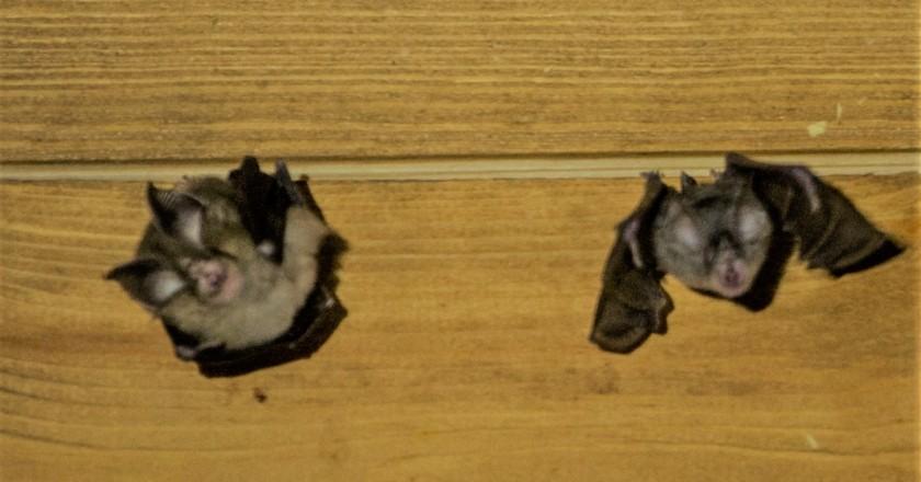 Taller / Sortida: Ratpenats, mags de la nit