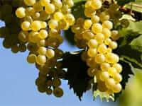 Vilafranca del Penedes (vineyards)