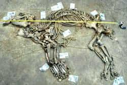 El misteri del Camp dels Ninots (A Fossil Camp Dels Ninots)