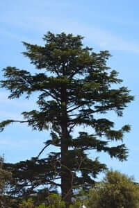 Rooted: unique and monumental trees (Cedar Garden Salesians)