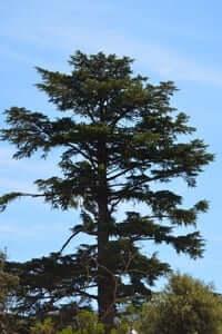 Arrelats: arbres singulars i monumentals (Cedre Del Jardi Dels Salesians)