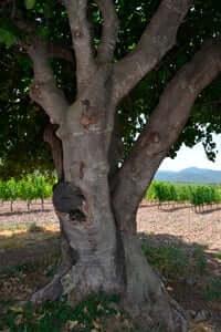 Arrelats: arbres singulars i monumentals (Figuera De La Finca De Les Muralles)