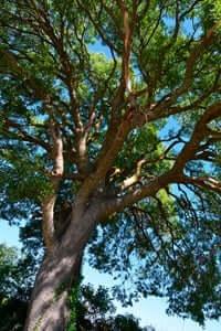 Arrelats: arbres singulars i monumentals (Lledoner De Poblet)