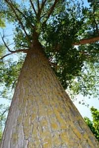 Arrelats: arbres singulars i monumentals (Pollancre Dels Torrents)