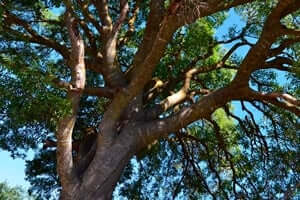 Arrelats: arbres singulars i monumentals (Projecte Arbres Monumentals Arrelats)