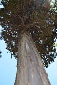 Arrelats: arbres singulars i monumentals (Xiprers Dels Torrents)