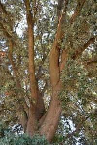 Arrelats: arbres singulars i monumentals (Alzina De Les Planes)