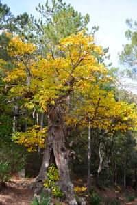 Arrelats: arbres singulars i monumentals (Castanyers De Castellfollit De La Roca)