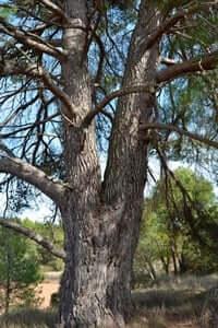 Arrelats: arbres singulars i monumentals (Pi Dels Fontals)