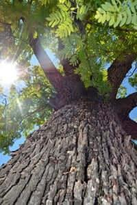 Arrelats: arbres singulars i monumentals (Servera De Riudabella)