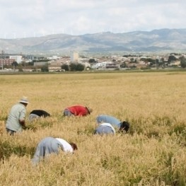 Festival of the harvest of rice in the village