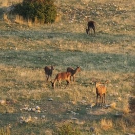 Enjoy the bellowing of the deer in the Leridano Pyrenees