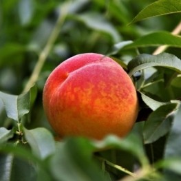 Guided walk to the land of the Peach of Ordal
