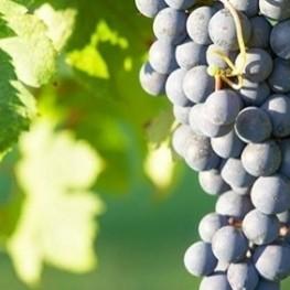 Guided visit to the El Baluard vineyard in Sant Celoni