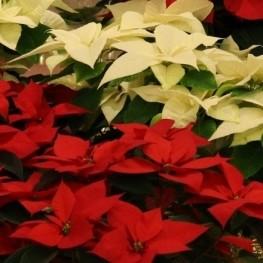 Viu el Nadal a Santa Maria d'Oló