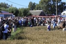 Festa de la sega de l'arròs a Amposta