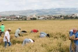 Festa de la sega de l'arròs a l'Aldea