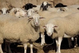 Santa Teresa Fair and Catalan Sheep Fair in Ripoll
