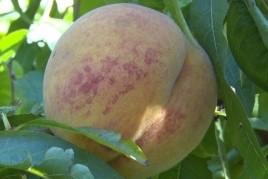 Pinyana Peach Fair in Alfarràs