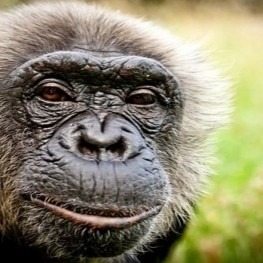visita chimpática