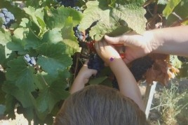 Viu la màgia de la verema & Vermut entre les vinyes
