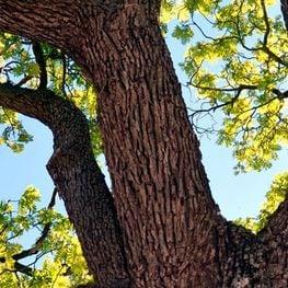 Arrelats: árboles singulares y monumentales