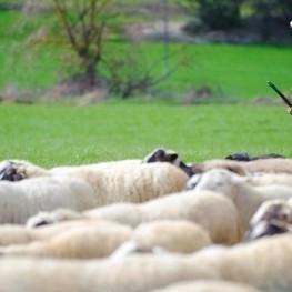 Route du bétail à Olvan